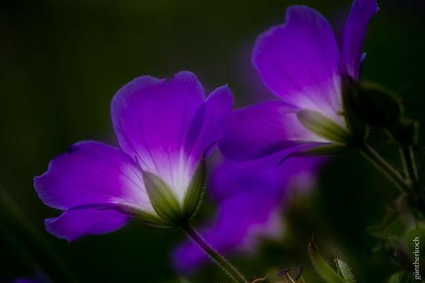 Flora: Wiesenstorchschnabel_2