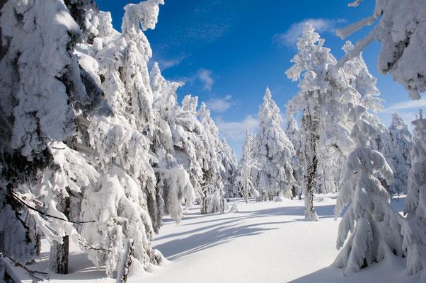 Fichten in ihren Winterkleidern-3