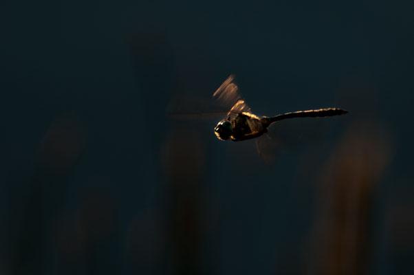 Fauna: Libelle_3