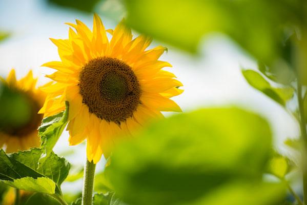 Flora: Sonnenblume_2