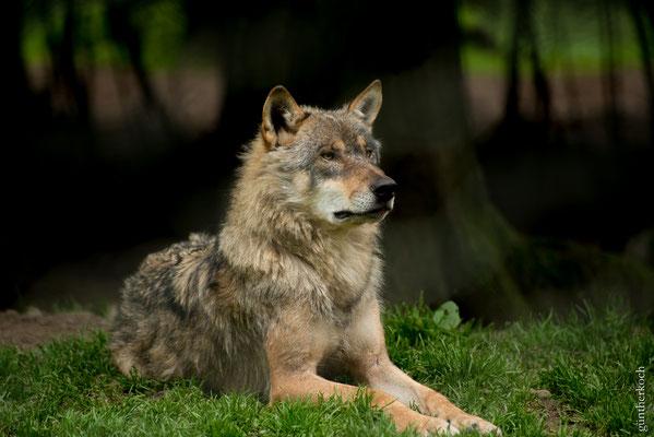 Fauna: Wolf, Wildpark Neuhaus