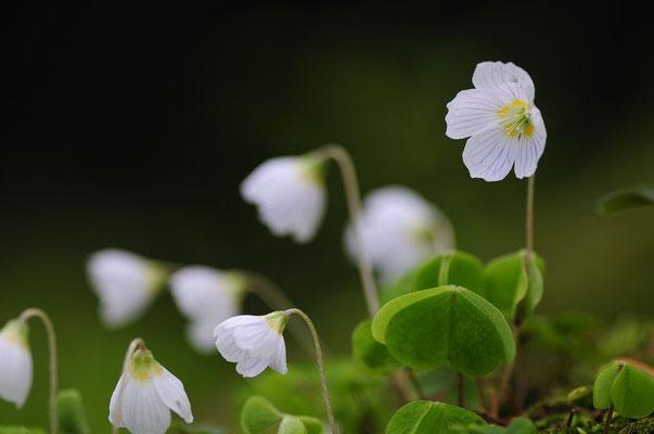 Flora: Buschwindröschen_2