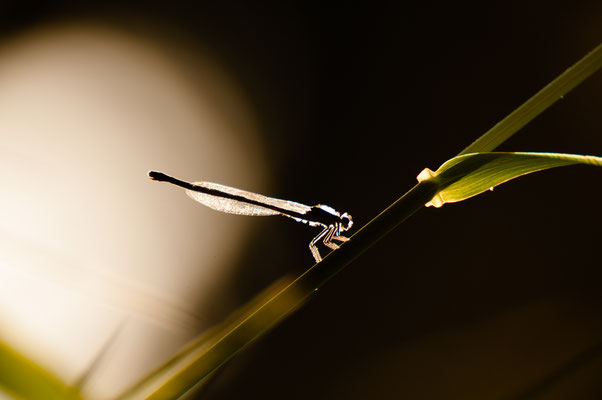 Fauna: Libelle_2