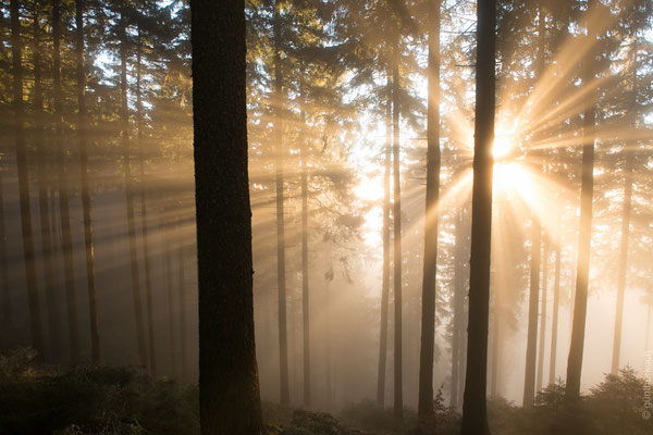Harzwald: Wald-Nebel_2