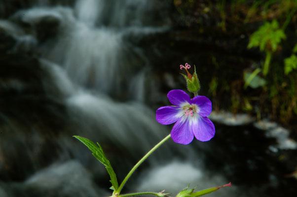 Flora: Wiesenstorchschnabel_3