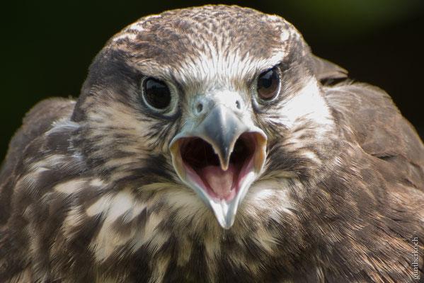 Fauna: Falke_1   Wildpark Neuhaus