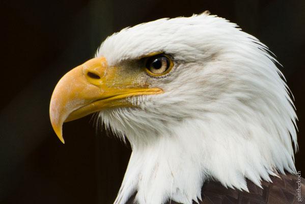 Fauna: Weißkopf-Seeadler,  Wildpark Neuhaus