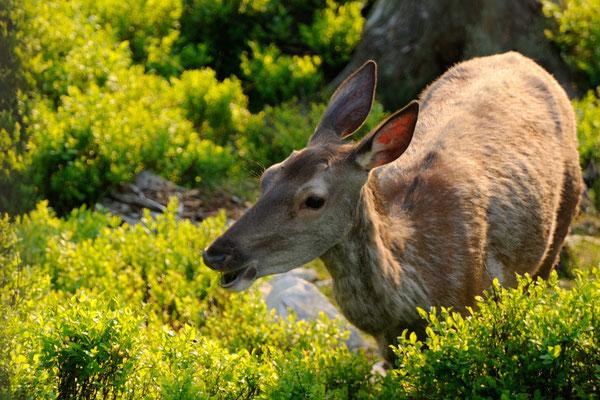 Fauna: Hirsckuh_2