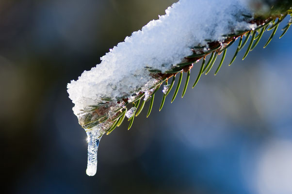Impressionen_Fichtenzweig-Winter