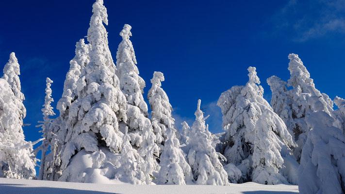 Harz-Wald: Fichtenschönheiten im Winterkleid