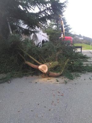 Entastung und Aufräumung des gefällten Baumes
