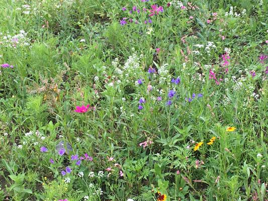 Einjährige oder mehrjährige Blumensaat