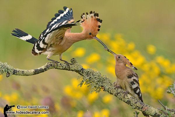 Hoopoe nesting