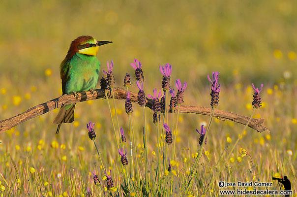 fotografía de naturaleza desde hide de abejarucos