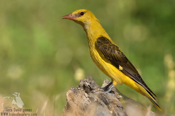 golden oriole from photohide