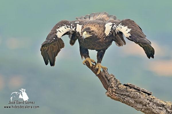 Foto de águila Imperial