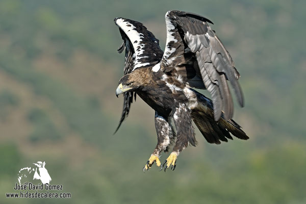 Imperial eagle taken from our photo hide