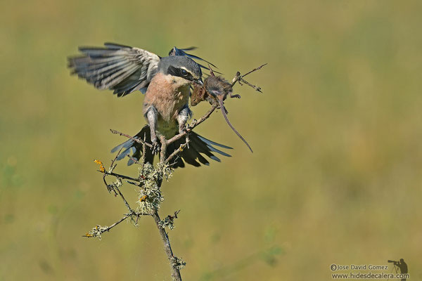 Hide of grey shrike with mouse