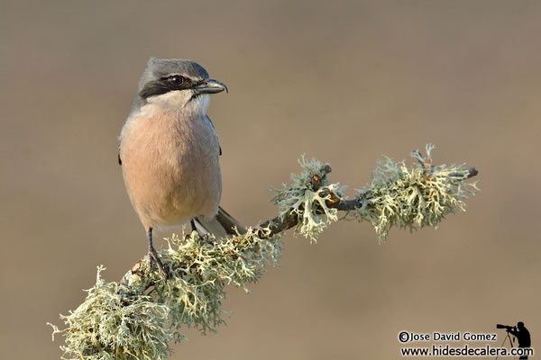 Iberian great grey shrike