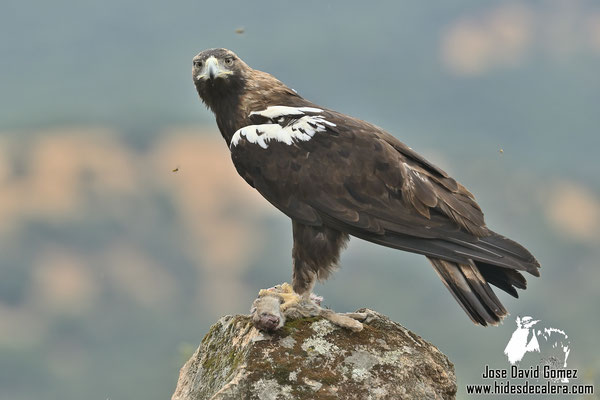 Águila Imperial fotografiada desde hide