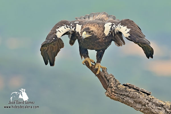 photo of Imperial eagle