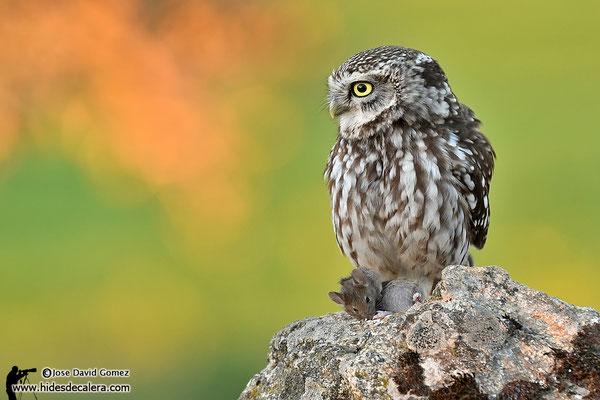 wildlife photo hide for little olw
