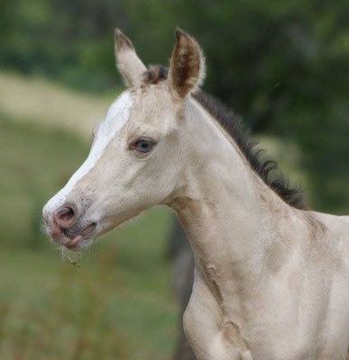 """Amber dun champagne Stutfohlen, aus einer """"Spooks Gotta Gun"""" Tochter, BE Western-Horses *not for sale*"""