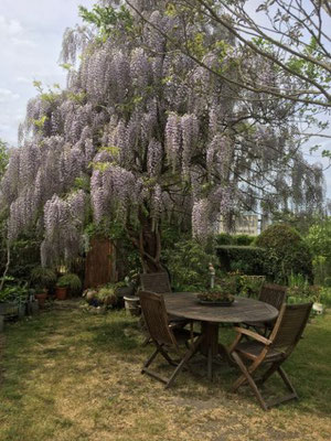 La dite glycine wistéria sinensis chez Béa et Pat