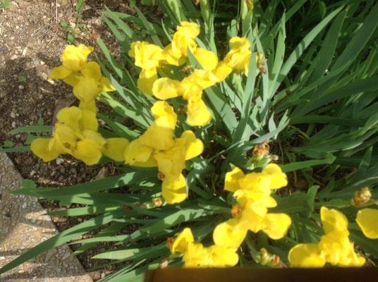 Iris dans le jardin de Pascale de Rians