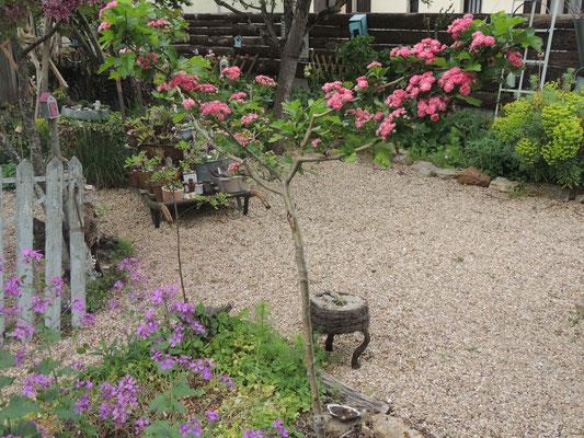 Chez Régine et Michel. Arbuste acheté chez Patrick Coignet de Massay lors d'un troc-plantes