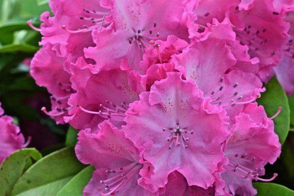 Rhododendron chez Pierre