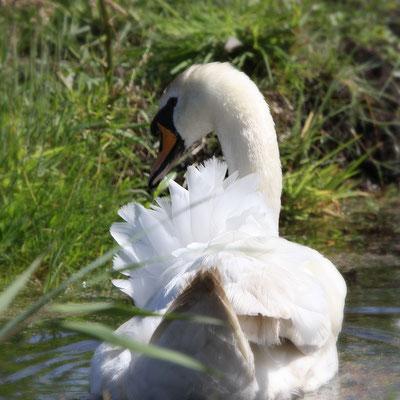 BI 2017-01  Swan Waterland
