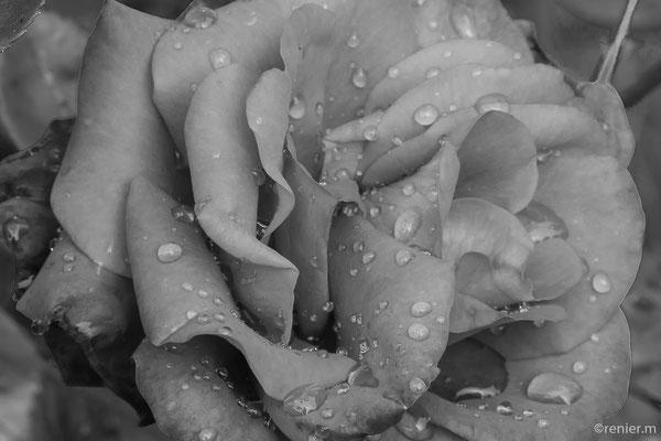 Rose in schwarzweiss