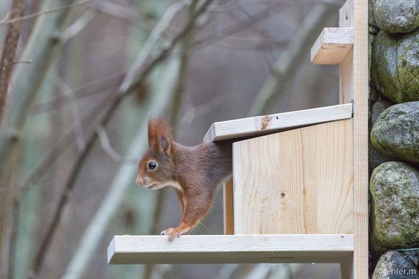 am Futterhaus für Eichhörnchen