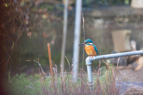 Eisvogel zu Besuch in unserm Garten