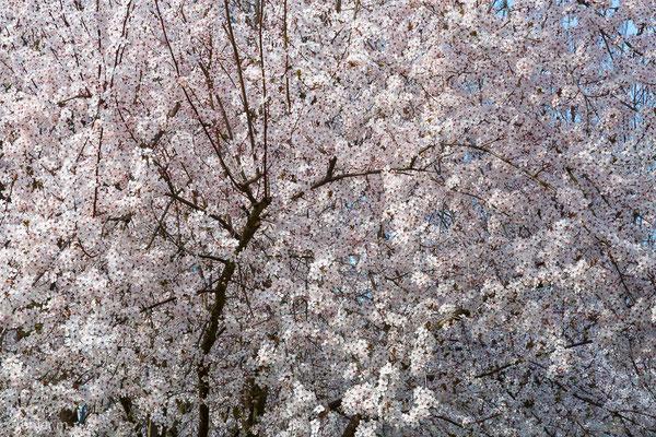 Blüte Wildpflaume