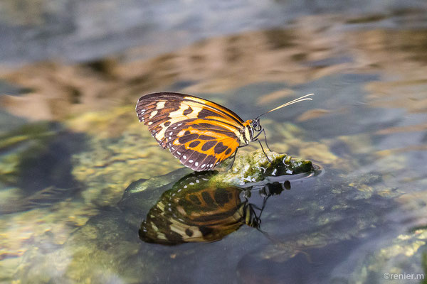 Harmonia Tigerflügel