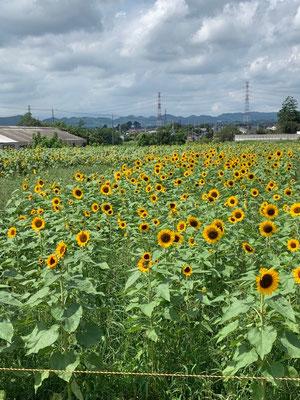 榛名山麓ひまわり畑です