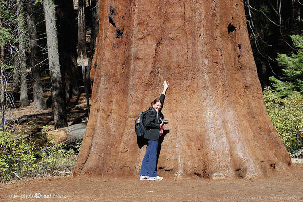 USA, Kalifornien, Yosemite National Park,  Mariposa County,  Mariposa Grove of Giant Sequoias