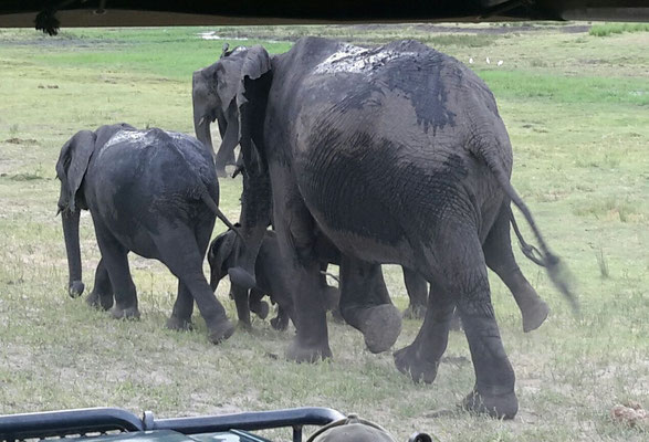 Elefanten Chobe NP Botswana