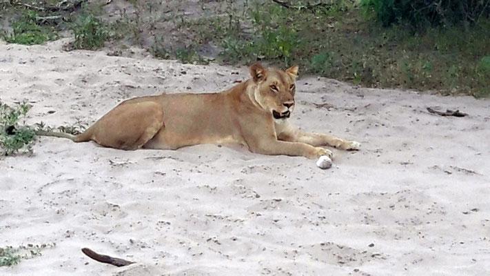 Löwin wachend