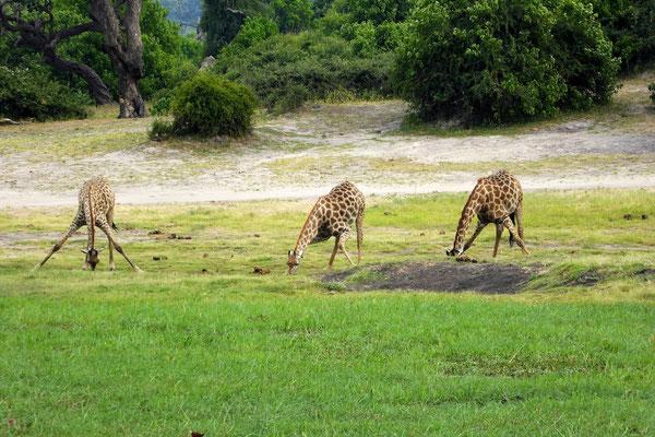 Giraffen im Chobe NP