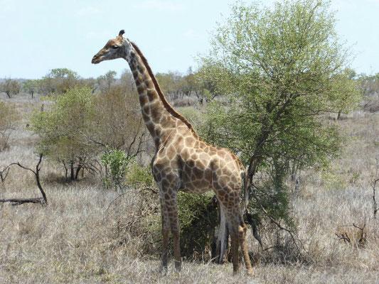 Giraffe unterwegs
