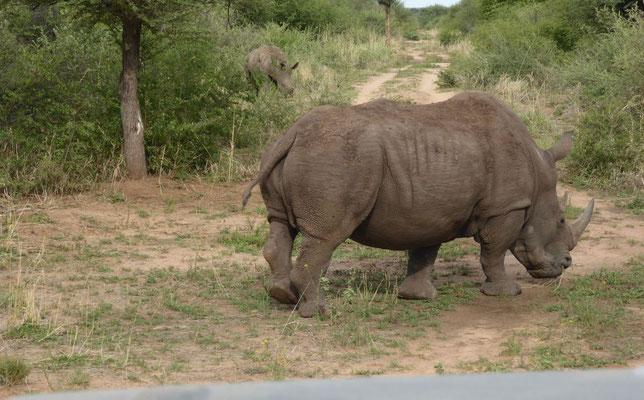 Nashörner Südafrika (Nähe Blyde River)