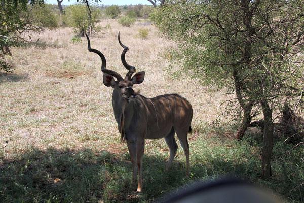 Kudu Antilope Männchen