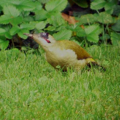 Grünspecht auf Nahrungssuche - im frisch gemähten Rasen vom 7. Okt. 2014