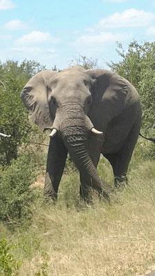 Elefant hier aus der Nähe
