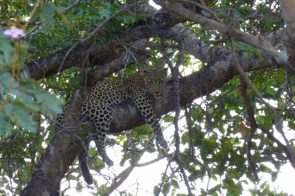 Leopard im Chobe NP