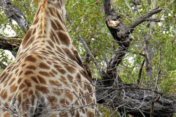 Giraffe mit Madenhacker-Vögel (Oxpeker) unterwegs (Zoom)