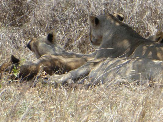 Löwen unter dem Baum (Zoom)